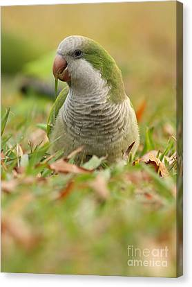 Quaker Parrot #3 Canvas Print by David Cutts