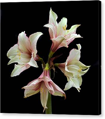 Quartet Of Amaryllis. Canvas Print by Terence Davis