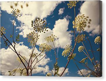 Queen Anne Lace And Sky I Canvas Print by Jenny Rainbow