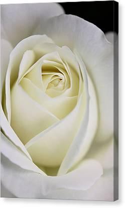 Queen Ivory Rose Flower 2 Canvas Print by Jennie Marie Schell