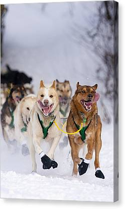 Quinn Iten Lead Dogs Running On Long Canvas Print by Jeff Schultz