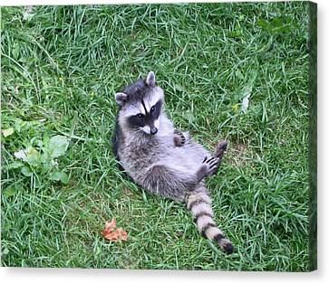 Raccoon Plays In The Grass Canvas Print by Kym Backland