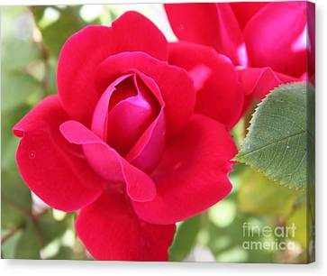 Radiant Red Rosebud Canvas Print by French Toast