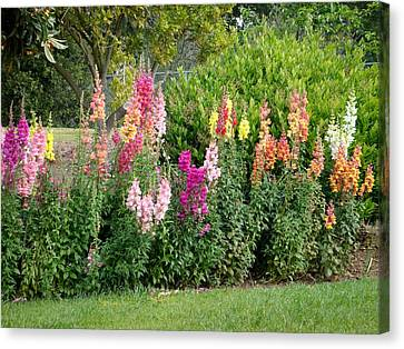 Rainbow Of Snapdragons Photograph Canvas Print by Cindy Collier Harris
