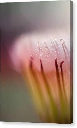 Raindrops On Dandelion Flower Canvas Print by Marianna Mills