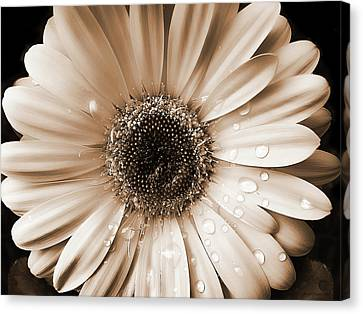 Raindrops On Gerber Daisy Sepia Canvas Print by Jennie Marie Schell