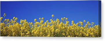 Rape Field In Bloom Under Blue Sky Canvas Print by Panoramic Images