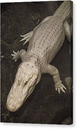 Rare White Alligator Canvas Print by Garry Gay