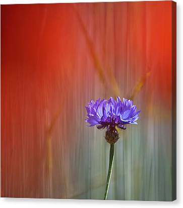 Red And Blue Canvas Print by Heiko Koehrer-Wagner