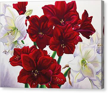 Red And White Amaryllis Canvas Print by Christopher Ryland