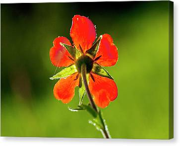 Red Avens (geum Coccineum) Flower Canvas Print by Bob Gibbons