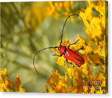 Red Beetle Canvas Print by Marty Fancy