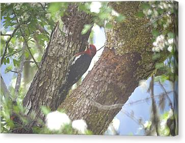 Red Bellied Sapsucker Canvas Print by Graham Foulkes