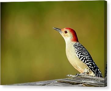 Red Bellied Woodpecker Canvas Print by Sabrina L Ryan