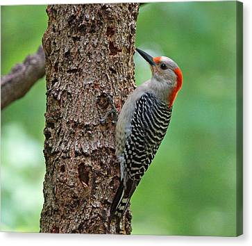 Red Bellied Woodpecker Canvas Print by Sandy Keeton