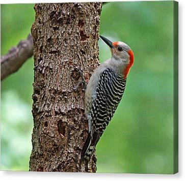 Red Bellied Woodpecker Canvas Print by Sandy Keeton