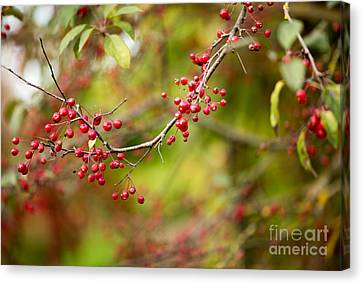 Red Berries Canvas Print by Rebecca Cozart