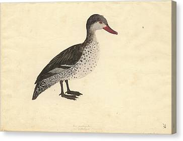 Red-billed Duck Canvas Print by Natural History Museum, London