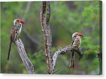 Red-billed Hornbills Canvas Print by Bruce J Robinson