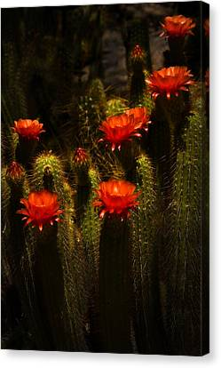 Red Cactus Flowers II  Canvas Print by Saija  Lehtonen