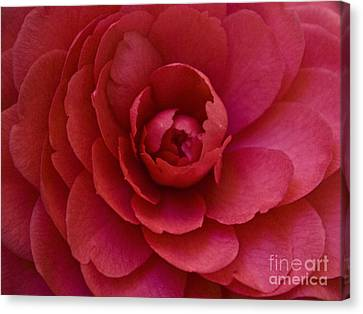 Red Camellia Canvas Print by Cindy Garber Iverson