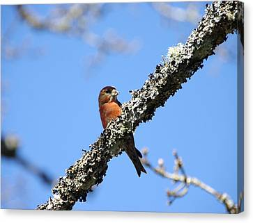 Red Crossbill Finch Canvas Print by Marilyn Wilson