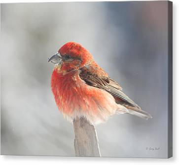 Red Crossbill Canvas Print by Gerry Sibell