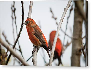 Red Crossbills Perch In A Willow Canvas Print by Robert L. Potts