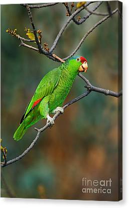 Red-crowned Amazon Canvas Print by Anthony Mercieca