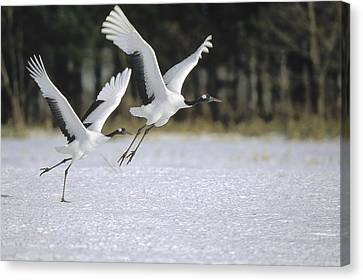 Red-crowned Crane Pair Courting Hokkaido Canvas Print by Konrad Wothe
