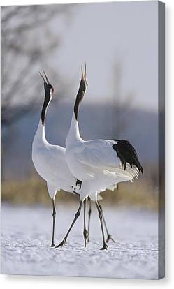 Red-crowned Crane Pair Courtsing Canvas Print by Konrad Wothe