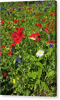 Red Drummond Phlox (phlox Drummondii Canvas Print by Larry Ditto