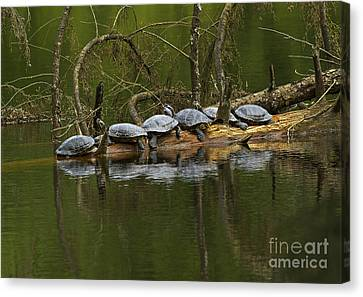 Red-eared Slider Turtles Canvas Print by Sharon Talson