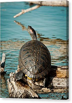 Red Eared Slider Xxl Canvas Print by Robert Frederick