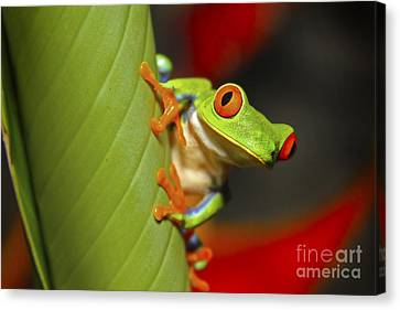 Red Eyed Leaf Frog Canvas Print by Bob Hislop