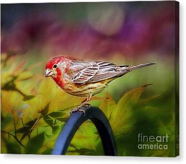 Red Finch Canvas Print by Darren Fisher