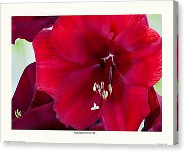 Red Florist Amaryllis Canvas Print by Saxon Holt