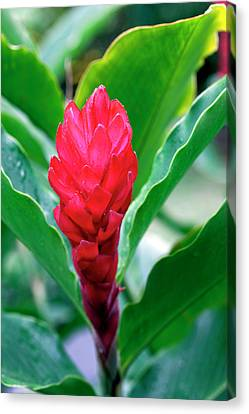 Red Flowering Bromeliad, Costa Rica Canvas Print by Susan Degginger