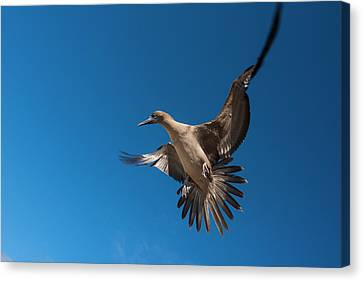 Red-footed Booby (sula Sula Websteri Canvas Print by Pete Oxford