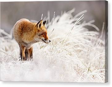 Red Fox And Hoar Frost _ The Catcher In The Rime Canvas Print by Roeselien Raimond