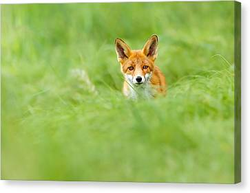 Red Fox In A Sea Of Green Canvas Print by Roeselien Raimond