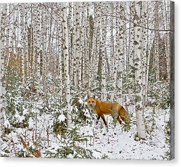 Red Fox In Birches Canvas Print by Jack Zievis