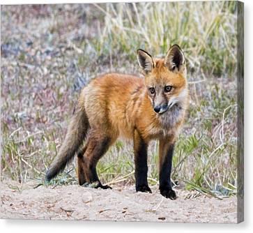 Red Fox Kit - Artistic Canvas Print by Bill Kesler