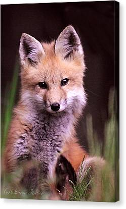 Red Fox Kit Canvas Print by Sharon Fiedler