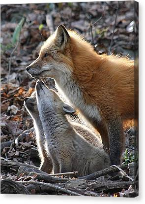Red Fox With Kits Canvas Print by Doris Potter