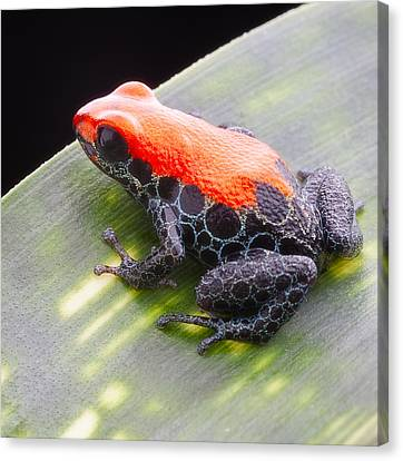 red frog Ranitomeya reticulata Canvas Print by Dirk Ercken