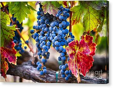 Blue Grapes On The Vine Canvas Print by George Oze