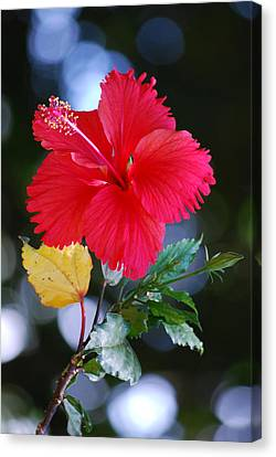 Red Hibiscus Flower Canvas Print by Michelle Wrighton