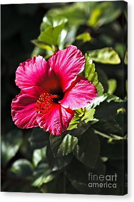 Red Hibiscus Canvas Print by Robert Bales