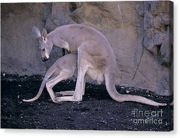 Red Kangaroo. Australia Canvas Print by Art Wolfe